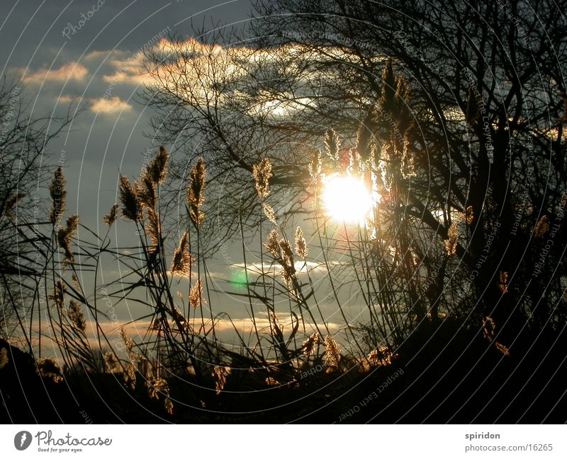 Sun Common Reed