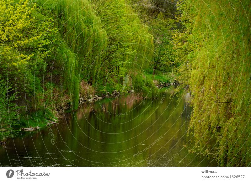 The Finished One Plant Spring Tree Willow-tree Weeping willow River bank Green Reflection Idyll Lush Nature Natural May Colour photo Exterior shot