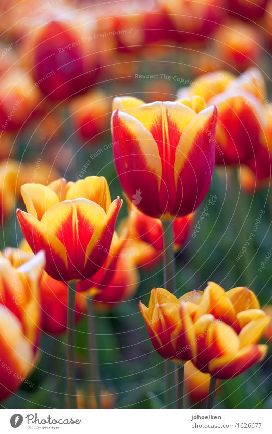 Plant Colour Eroticism Flower Red Environment Yellow Love Spring Blossom Garden Orange Park Growth Blossoming Bouquet