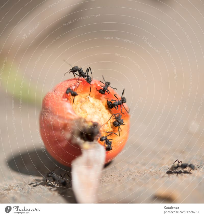 insatiable Eating Environment Nature Animal Plant Rose hip Garden Wild animal Ant Insect Group of animals Work and employment Observe Movement To feed