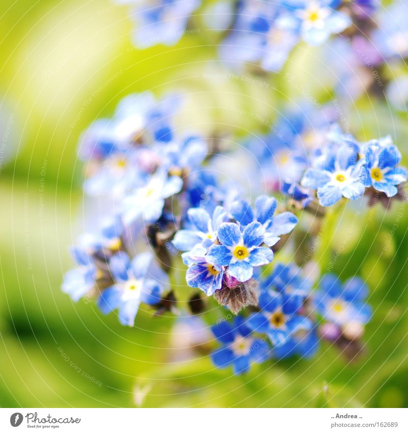 Spring messenger no. 3 Sun Plant Flower Blossom Meadow Blossoming Jump Growth Happiness Fresh Blue Green Nature Environment Forget-me-not Spring flowering plant