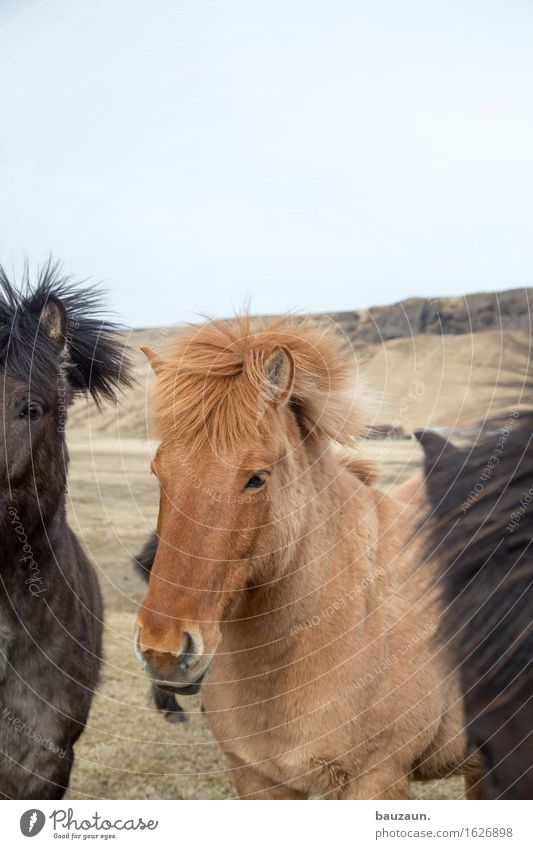 rest horses. Leisure and hobbies Ride Vacation & Travel Tourism Trip Adventure Far-off places Freedom Expedition Environment Nature Iceland Animal Horse