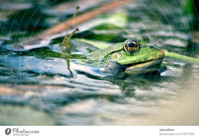 Quark! Water Garden Lakeside Animal Wild animal Frog Water frog 1 Glittering Green Optimism Fairy tale Frog Prince Quack Pond Garden pond Spring Frog eyes