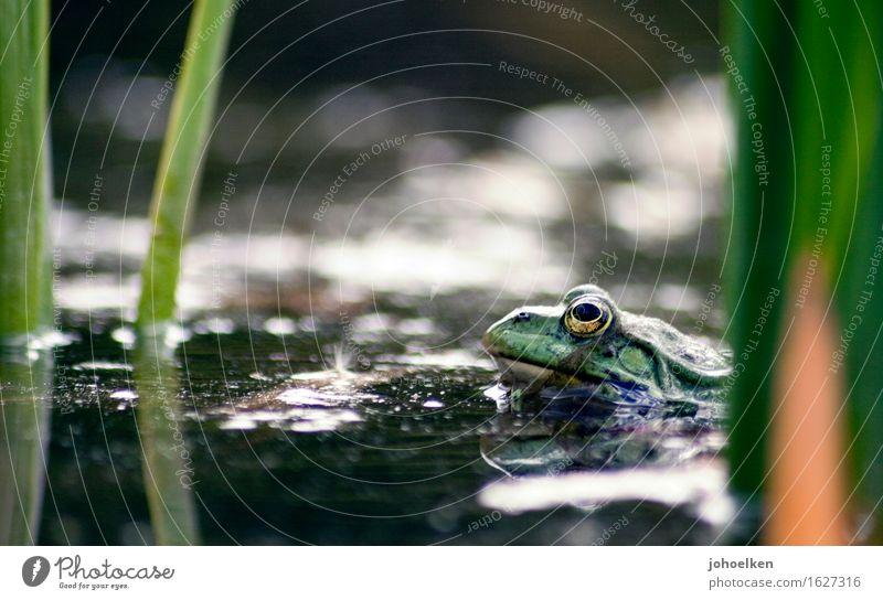 Green Water Animal Love Garden Park Wild animal Wet Passion Brave Common Reed Pond Frog Lovesickness Desire Love affair