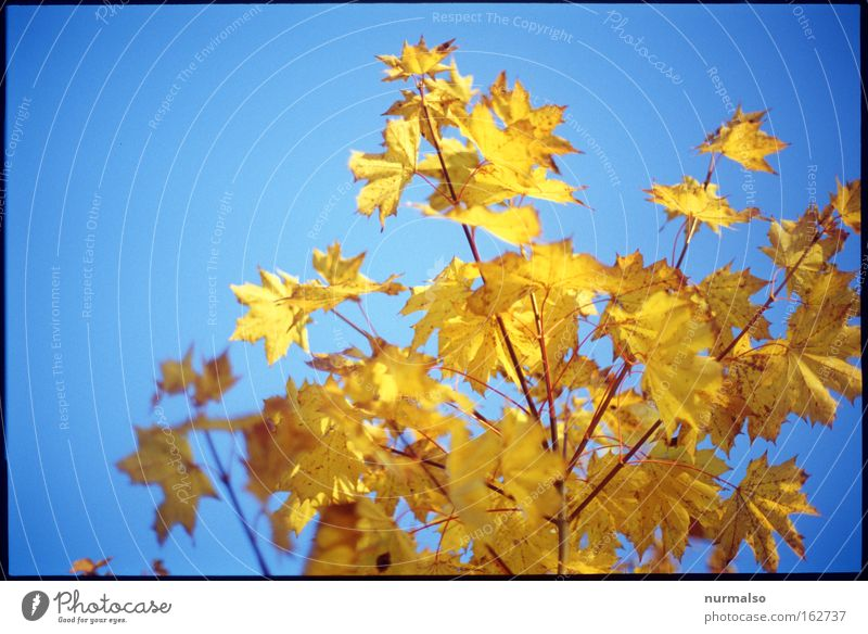 anti-spring spring Autumn Leaf Colouring Gold Illuminate Intensive Tree Bushes Offense Decompose Indian Summer Branch Memory Past Emotions sky blue