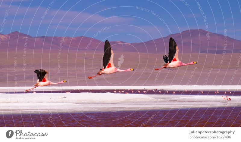 Flamingos flying over Laguna Colorada, Bolivia Nature Vacation & Travel Colour White Landscape Red Animal Mountain Style Group Lake Flying Bird Tourism Pink