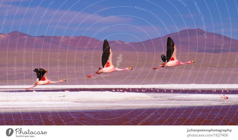 Flamingos flying over Laguna Colorada, Bolivia Style Vacation & Travel Tourism Mountain Group Nature Landscape Animal Park Volcano Lake Bird Flying Bright Wild