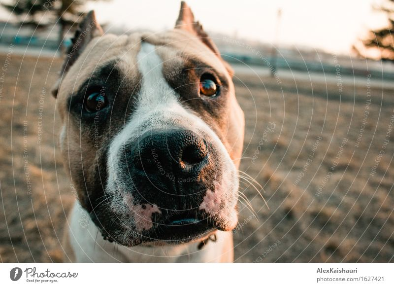 Cute staffordshire terrier dog is looking to the camera. Dog Nature Vacation & Travel Beautiful Summer Landscape Loneliness Animal Environment Life Spring