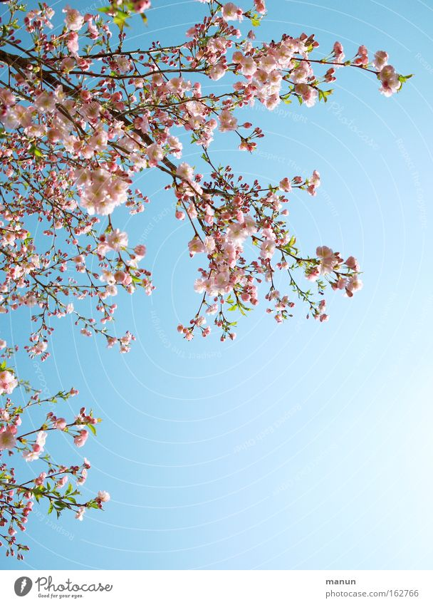 cherry tree Spring Blossom Cherry Cherry tree Ornamental cherry Cherry blossom Warmth White Pink Blue Weather Branch Horticulture Background picture Beautiful