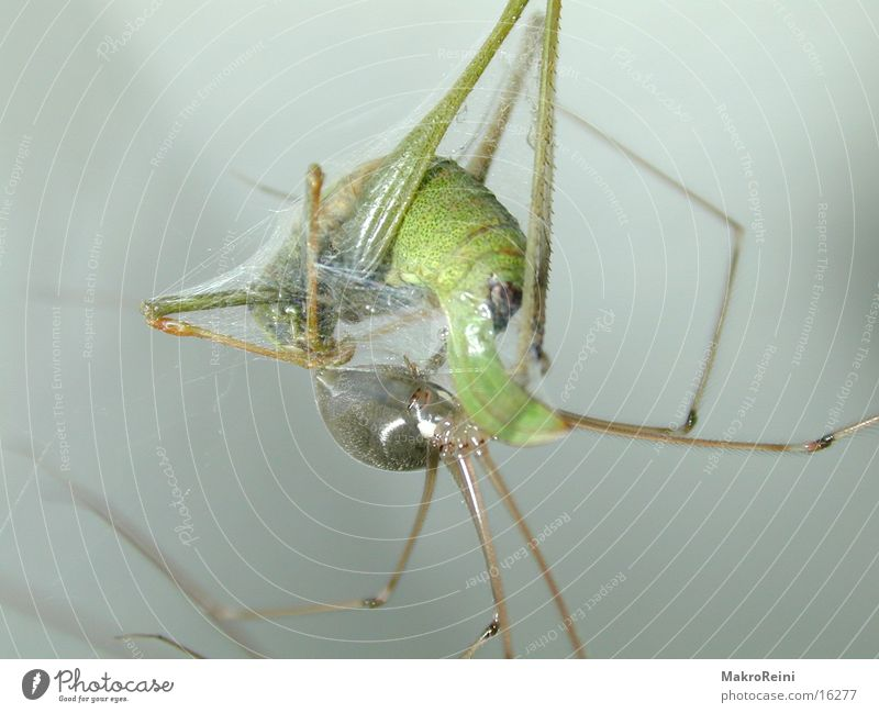 lunches Spider Locust Macro (Extreme close-up) Net