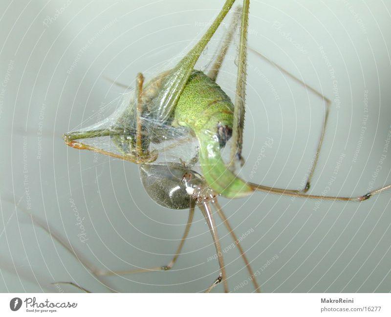 Net Spider Locust