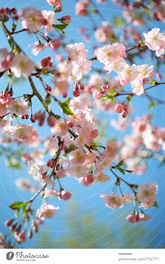 cherryblossom Spring Blossom Cherry Cherry tree Cherry tree wood Ornamental cherry Cherry blossom Warmth White Pink Blue Weather Branch Horticulture Landscape