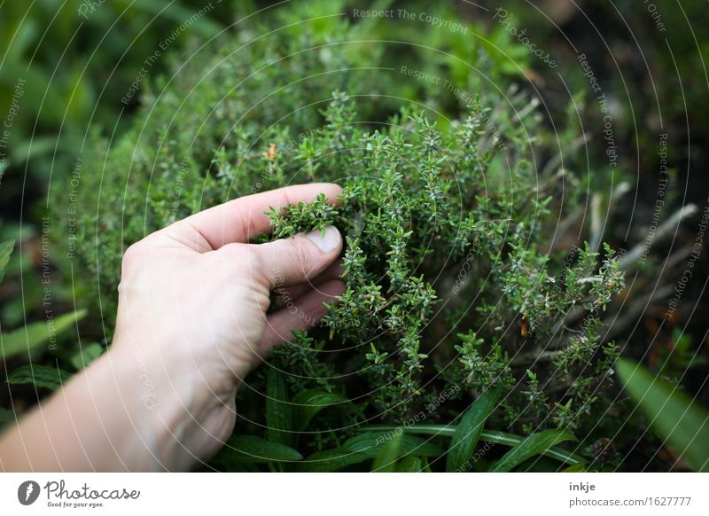 thyme Herbs and spices Gardening Hand Summer Agricultural crop Thyme Herb garden Touch Fragrance Fresh Healthy Green Senses Attempt Colour photo Exterior shot