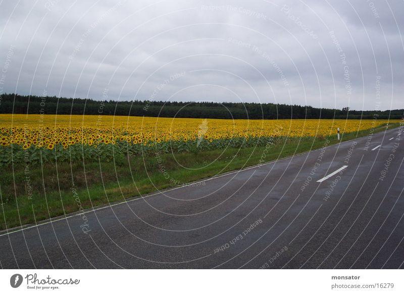 Street Colour Field Sunflower