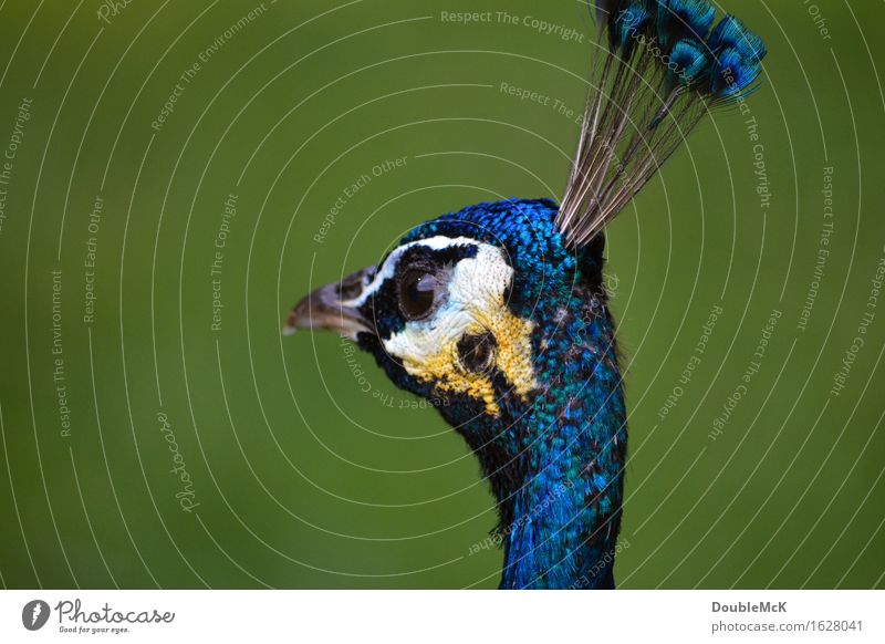 Blue Peacock in detail Animal 1 Observe Think Relaxation Stand Authentic already Yellow green White Contentment Serene Patient Calm Elegant Colour photo