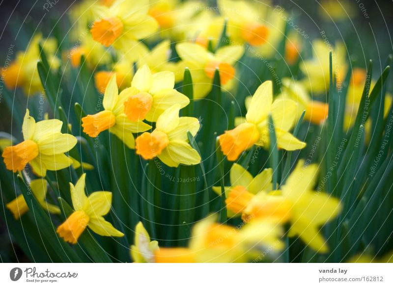 Nature Plant Green Flower Yellow Spring Blossom Garden Easter egg Mother's Day April March Narcissus Spring flowering plant Wild daffodil