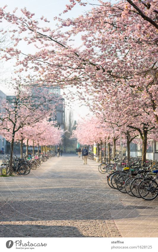 What will be Nature Plant Spring Tree Beautiful Japanese cherry blossom Cherry blossom Cherry Blossom Festival Goettingen University of Goettingen
