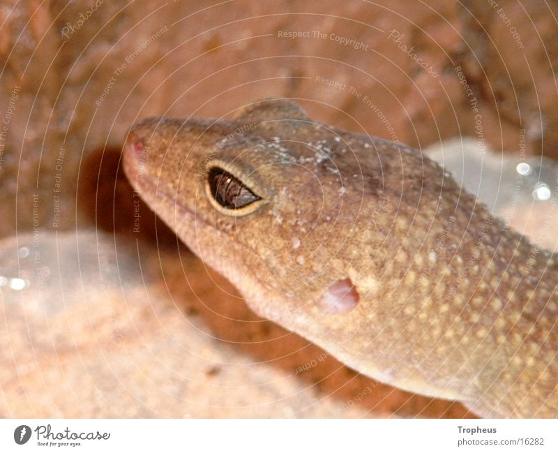 Cleo 2 Gecko Terrarium Silhouette Leopard gecko Climbing Profile Eyes