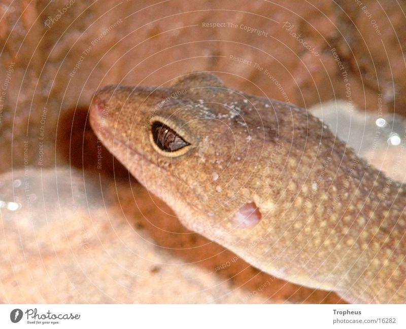Eyes Climbing Terrarium Gecko