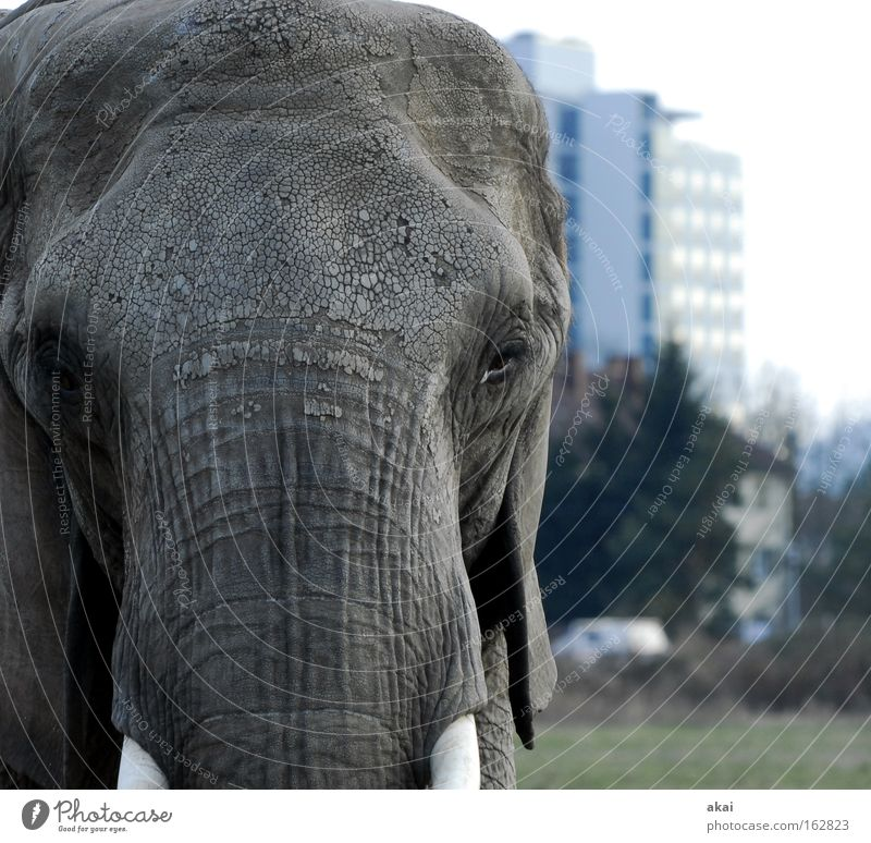 House (Residential Structure) Animal Meadow Transport Might Trust Looking Testing & Control Watchfulness Mammal Smart Caution Elephant Trunk Foraging Tusk