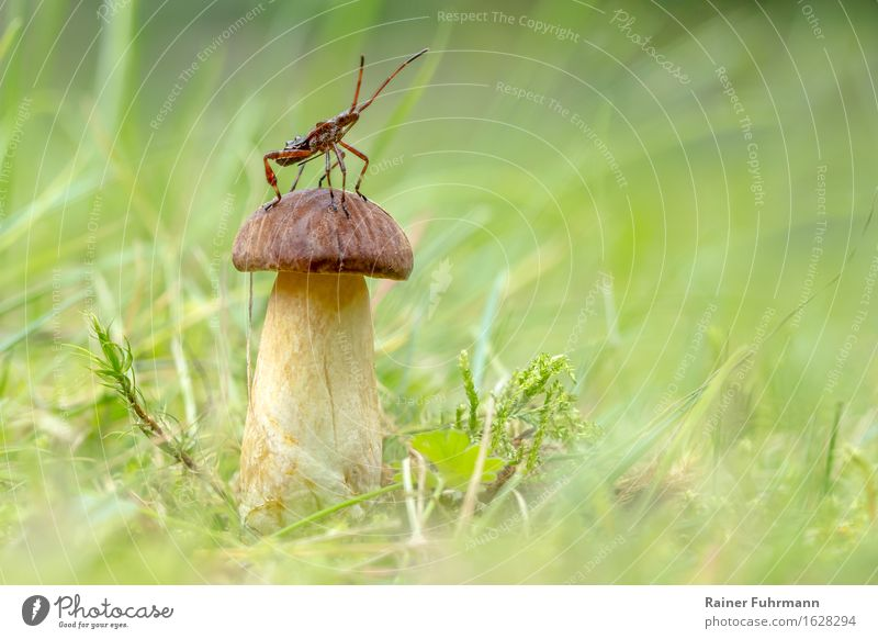 "a murder bug posing on a chestnut boletus Nature Forest Animal Wild animal ""Bug bug larva Insect,"" ""Mushroom Cep Meadow Grass Moss"" Colour photo Close-up"