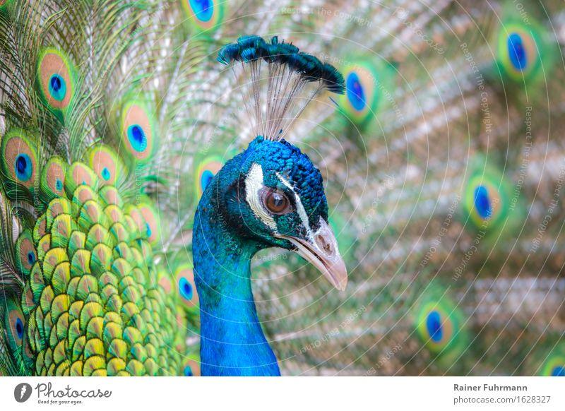 Nature Blue Beautiful Animal Esthetic Pet Peacock