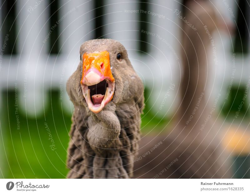 """a Toulouser goose chattering Spring Garden Animal Pet Farm animal """"Goose Toulouser Goose"""" Love of animals Colour photo Exterior shot Day Animal portrait"""