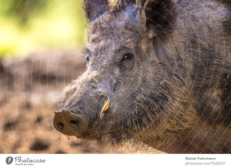 """Portrait of a wild boar Nature Animal Forest Wild animal """"Wild boar Pig"""" 1 """"Sus scrofa wild boar portrait Male boar tusk Attention! Colour photo Exterior shot"""
