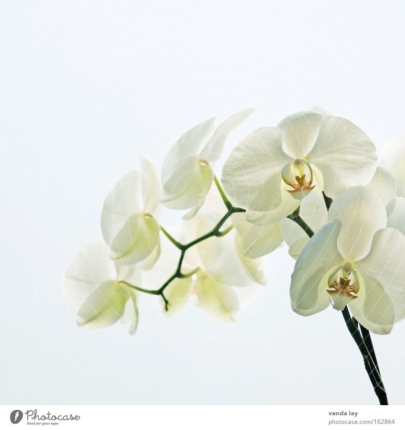 Sensation White Orchid Flower Plant Nature Living or residing Blossom Exotic Stalk Beautiful Noble Macro (Extreme close-up) Background picture Close-up