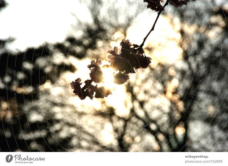 cherry blossom Cherry Sun Sunset Cherry blossom Shadow Blossom Spring