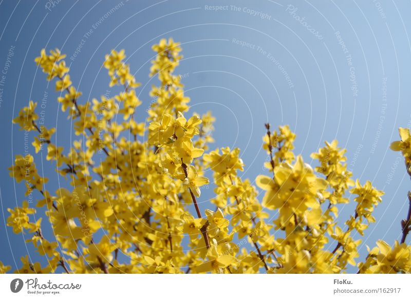 Nature Sky Blue Plant Yellow Blossom Spring Happy Bushes Beautiful weather Anticipation Spring fever Cloudless sky