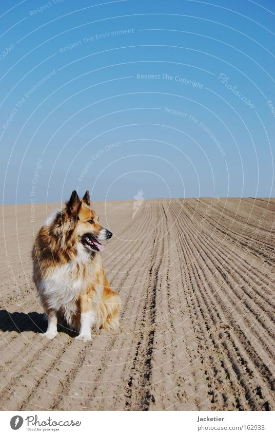 Sky Dog Animal Brown Field Desert Collie