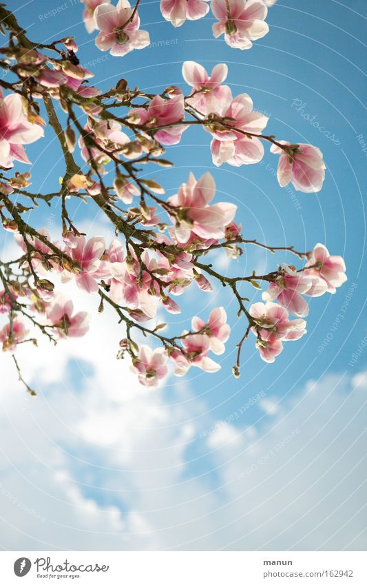 magnolia Spring Blossom Magnolia plants Magnolia blossom Warmth Beautiful Pink Blue Weather Branch Horticulture Landscape Background picture Fresh
