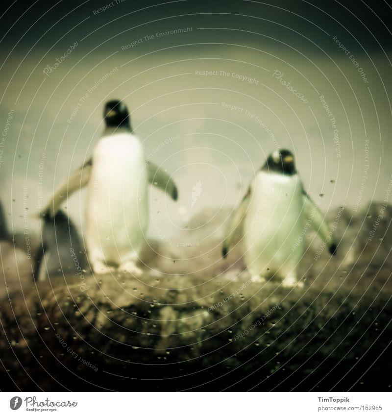 Animal Search Team Zoo Mammal Penguin Fin Antarctica Berlin zoo Emperor penguins