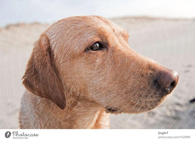 Joy Beach Dream Dog Sadness Think Coast Island Mammal Sensitive Alert Labrador Intensive Profile Netherlands Absentminded