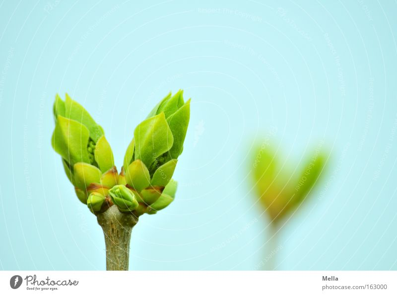 Blue Green Spring In pairs Twig Bud Double exposure Leaf bud Lilac 2 Blossom