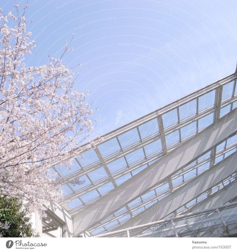 cherry blossoms #1 Sky Blue Spring Pink Japan Cherry blossom
