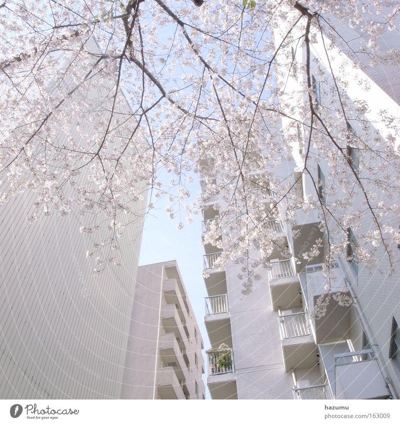 cherry blossoms #2 Cherry blossom Japan Pink Spring White Sky Building sakura Ein Kirschenbaum In Frühling