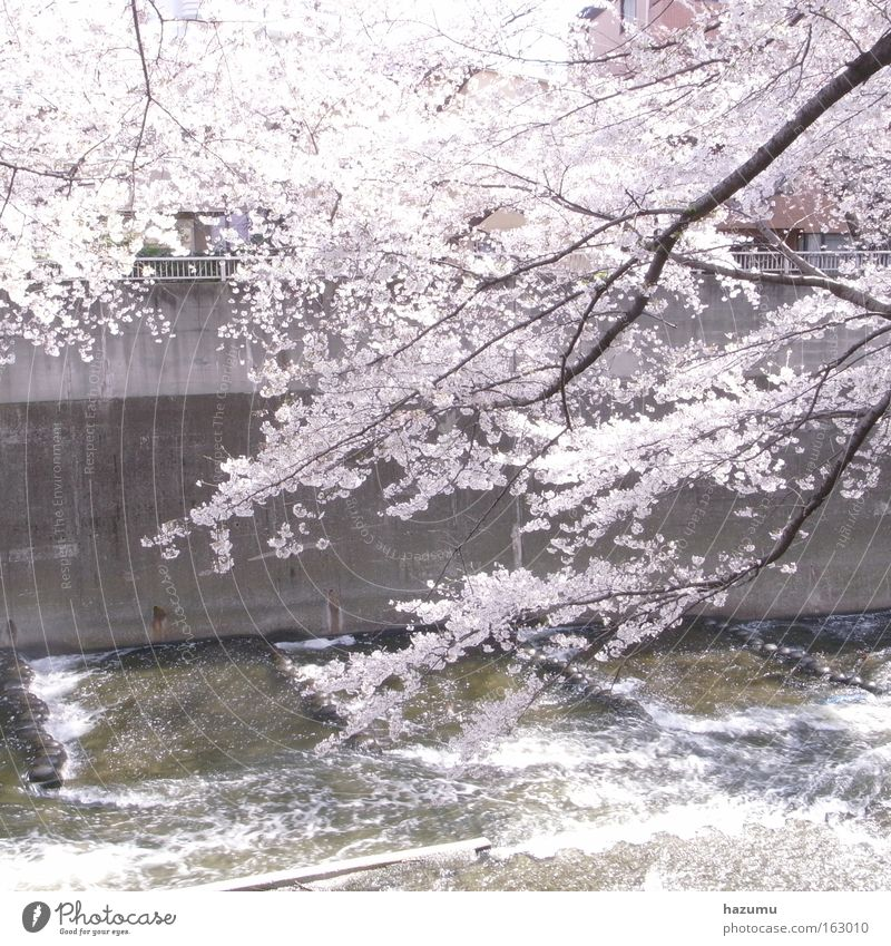 cherry blossoms #3 White Spring Pink River Japan Brook Asia Tokyo Cherry blossom