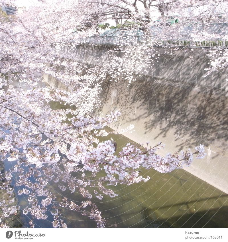 cherry blossoms #4 White Spring Pink Blossom River Japan Brook Asia Tokyo Cherry blossom