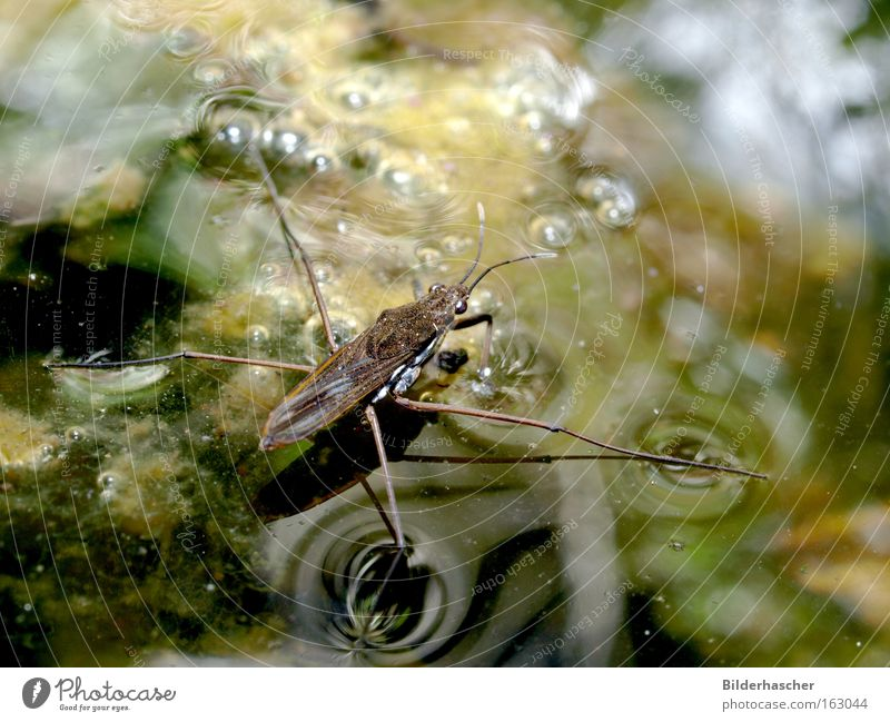 water tramp Water strider Pond Surface tension Dirty Insect Legs Wing Feeler Reflection Shadow Air bubble Algae Walking Body of water Habitat