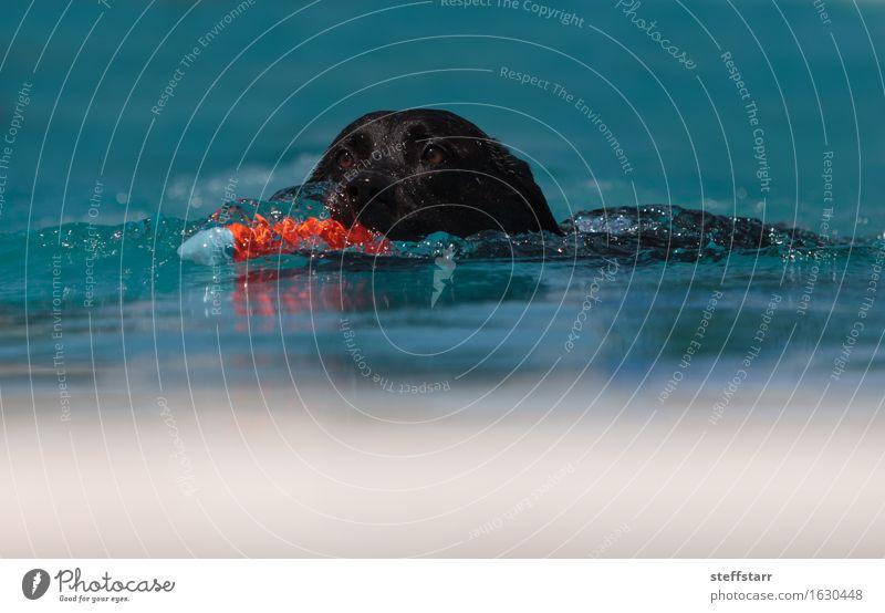 Black Labrador retriever swims Dog Vacation & Travel Blue Summer Water Red Animal Swimming & Bathing Orange Athletic Pet Loyalty