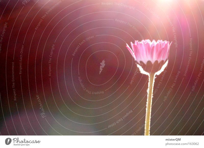 Nature Summer Sun Flower Colour Meadow Grass Blossom Fresh Transience Blossoming Sunset Daisy