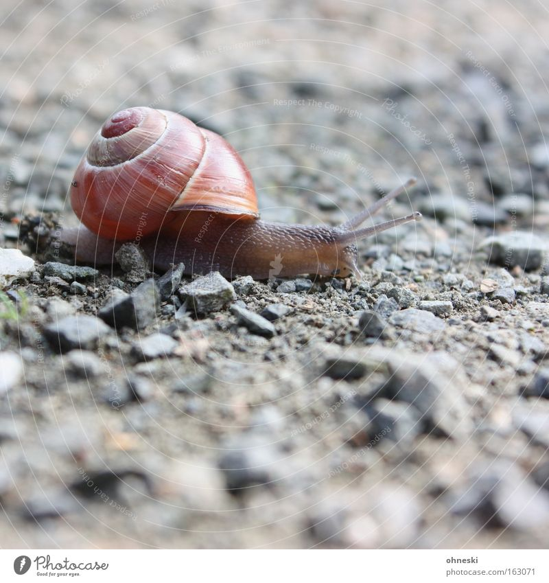 Ruhrpott snail Snail Snail shell Crawl Mollusk Slowly Stone Asphalt Feeler Smoothness Effort Racing sports Running sports Feeble lame