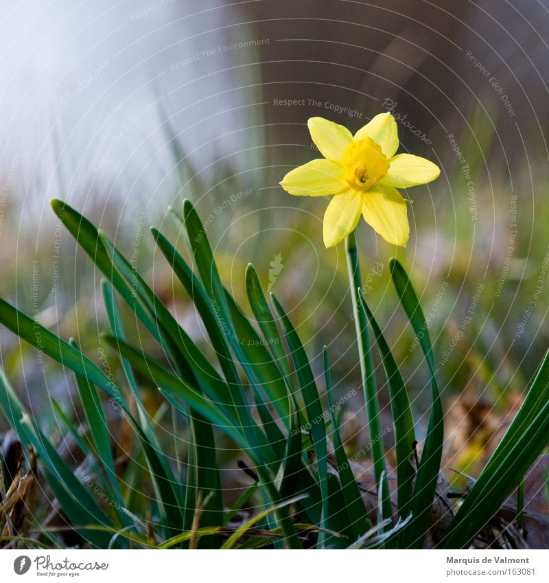 Nature Plant Loneliness Flower Spring Blossom Individual Spring flower Narcissus Amaryllis