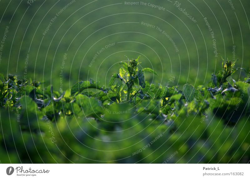 one among many Green Canola Loneliness Exceptional Spring Nature Plant Multiple Living thing Concentrate