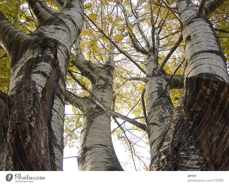 Direction of view upwards Autumn Tree Birch tree Leaf Yellow Shaft of light Fog Nature Tree trunk Branch