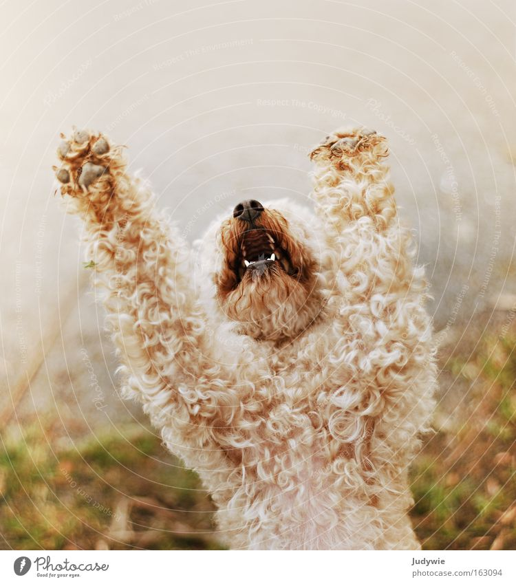 Beautiful Dog Fear Small Grief Anger Scream Distress Prayer Mammal Paw Curl Aggravation Poodle Beg Plead