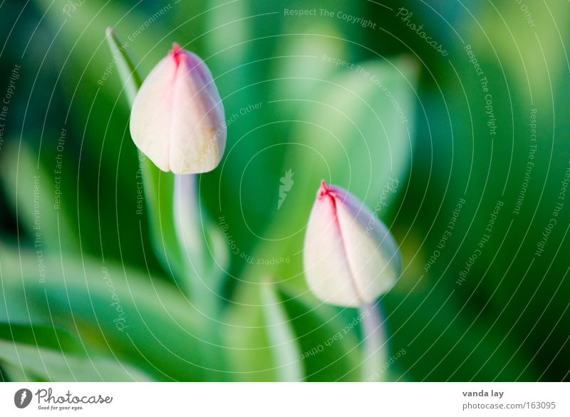 In the starting blocks Flower Spring Tulip Growth Blossom Spring flower Netherlands Pink 2 Macro (Extreme close-up) Plant Mother's Day Nature Close-up In pairs