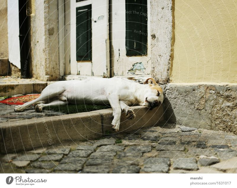 after-lunch nap Animal Pet Dog Paw 1 Moody Street Fatigue Sleep Siesta Dog's snout Exhaustion Lisbon Travel photography Colour photo Exterior shot Detail Day